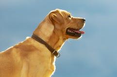 Golden retriever. On the sky background Stock Photos