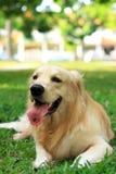 Golden Retriever. Dog in the park royalty free stock photos