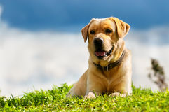 Golden retriever. In summer with storm clouds royalty free stock photography