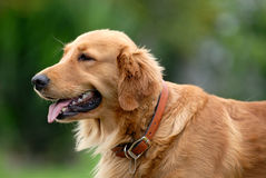 Golden retriever. Portrait of the golden retriever stock images