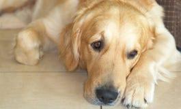 Golden retriever. Dog lying on the floor Royalty Free Stock Photos