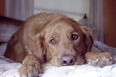Golden retriever. A golden retriever lying on a bed royalty free stock photography