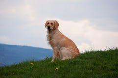 Golden Retriever. A female golden retriever flirting with the camera Royalty Free Stock Image