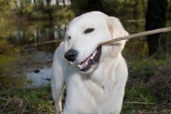 Golden Retriever 2. Golden Retriever posing for camera outdoors Royalty Free Stock Images
