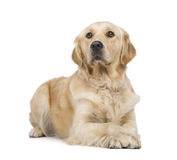 Golden Retriever (2 years) Royalty Free Stock Images