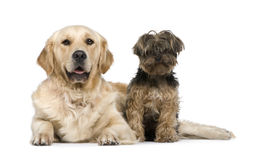 Golden Retriever (2 years) and a yorkshire terrier Royalty Free Stock Photography