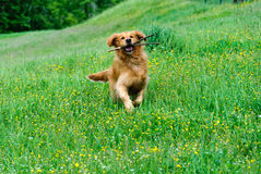 Golden Retriever. While running with a stick in the mouth Royalty Free Stock Image