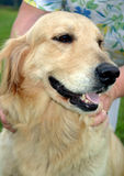 Golden retriever. Being petted by owner Stock Image