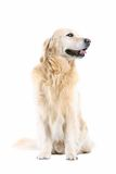 Golden retriever. High key Royalty Free Stock Images