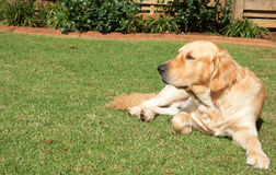 Golden retriever. Dog lying on the green grass in the garden Royalty Free Stock Photography