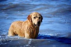 Golden Retriever. Enjoying himself on the beach stock photography
