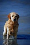 Golden Retriever. Enjoying himself on the beach Royalty Free Stock Photos