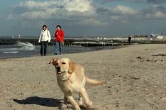 Golden retriever. Male dog running on the beach at a sunny day in winter with leaders at a walk stock photography