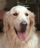 Golden retriever. Frontal portrait stock images