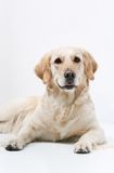 Golden Retriever Royalty Free Stock Photography