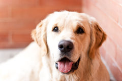 Golden Retriever. Young golden retriever portrait from above royalty free stock images