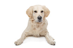 Golden Retriever Royalty Free Stock Photos