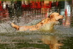 Golden Retriever. Jumping into the water of a lake after a tennis ball Royalty Free Stock Photography