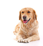 Golden retriever. Dog laying over white background stock photo