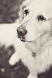 Golden retriever Imagen de archivo