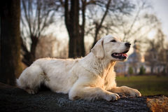 Golden Retriever. Beauty young golden retriever in the park Stock Photo