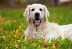 Golden Retriever. Portrait of beauty happy golden retriever Royalty Free Stock Images