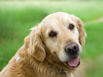 Golden Retriever. Gazing lovingly. Close-up head shot Royalty Free Stock Photos