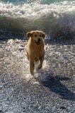Golden Retriever Stock Image