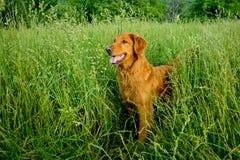 Free Golden Retriever Royalty Free Stock Photos - 28179038