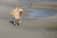 Golden retriever Stock Foto