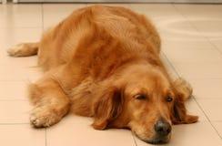 Golden Retriever. Sad lazy golden retriever lying flat on the floor Stock Photography