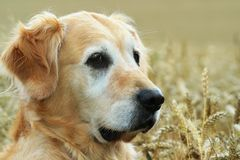 Golden retriever. In field wheat Royalty Free Stock Image