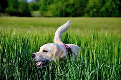 Golden Retriever. In summer wheat field Royalty Free Stock Photos