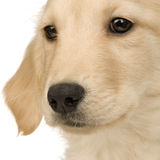 Golden Retriever (3 months) Royalty Free Stock Images