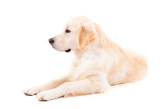 Golden retriever lizenzfreies stockfoto