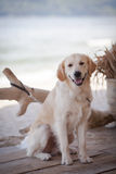 Golden retriever Image stock