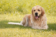 Golden retriever Arkivfoton