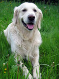 Golden retriever. Lying in grass royalty free stock photos