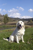 Golden retriever Stockbilder