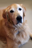 Golden Retriever. On a blurred background Stock Photo