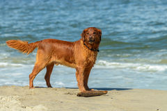Golden retriever Photo libre de droits
