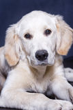 Golden Retriever. Portrait of a puppy golden retriever Royalty Free Stock Photos
