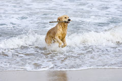 Golden retriever. With a stick at the beach Stock Photography
