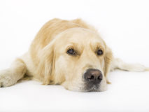 Golden retriever. Laying on a white background Stock Image