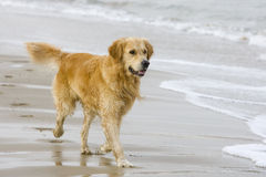 Golden Retriever. Coming out of the water Stock Photography