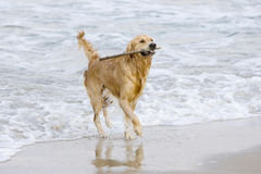 Golden Retriever. Coming out of the water with a stick Royalty Free Stock Photos