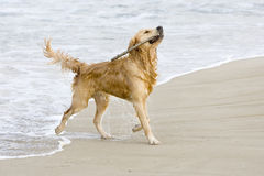 Golden Retriever. Coming out of the water with a stick Stock Images