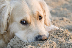 Golden retriever. Laying on the sand Royalty Free Stock Photo