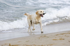 Golden Retriever. Coming out of the water with a stick Royalty Free Stock Photography