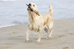 Golden Retriever. Walking on the beach with a stick Stock Photography